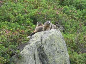 160 Marmotte1