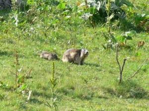 161 Marmotte2
