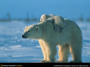 163 polarbear